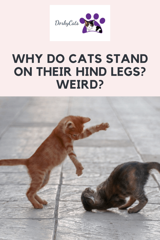 Why do cats stand on their hind legs? - Pinterest Pin