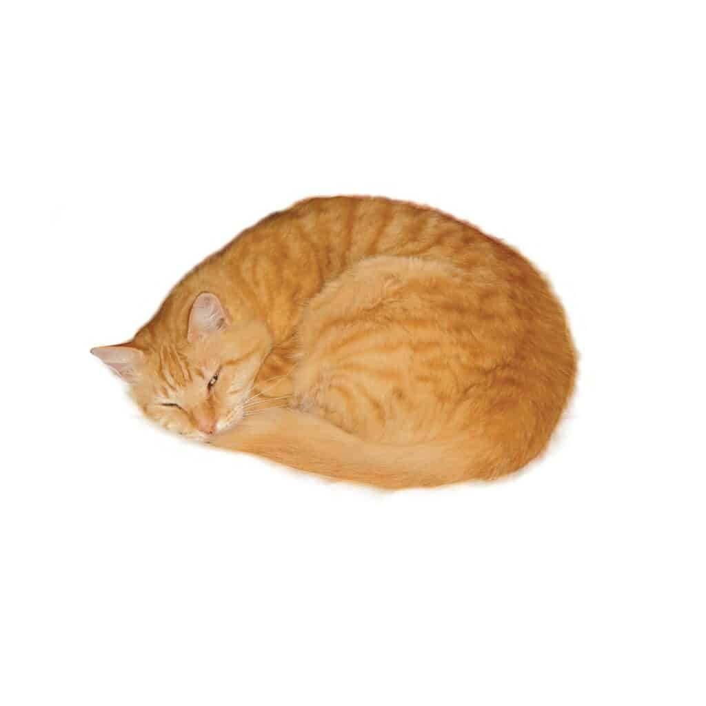 Cats positions meaning - curled up sleeping position