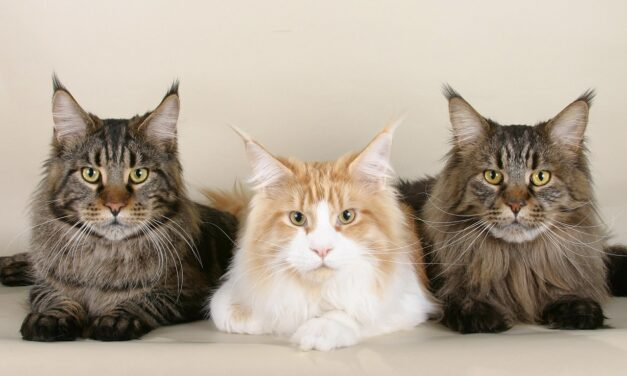 MAINE COON PERSONALITY: FASCINATING GENTLE GIANT