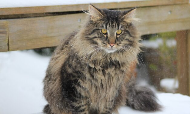 NORWEGIAN FOREST CAT'S PERSONALITY AND GUIDE