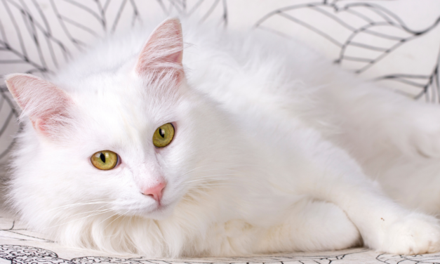 TURKISH ANGORA CAt'S PERSONALITY AND GUIDE