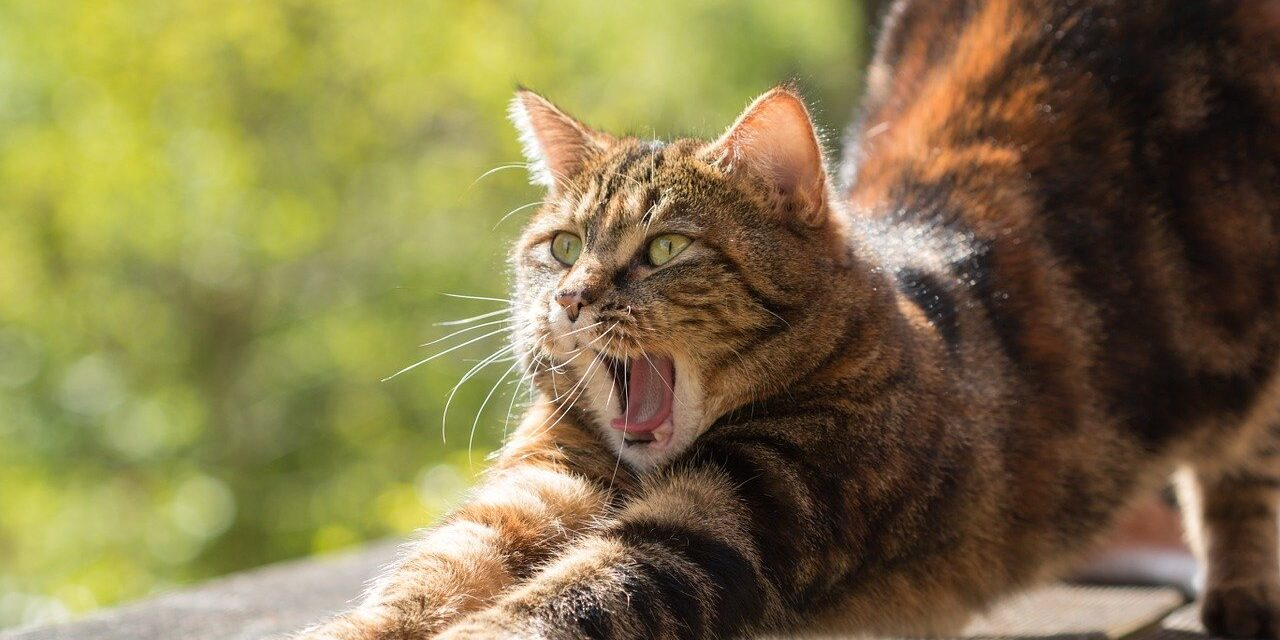 HOW LONG DO INDOOR CATS LIVE? TOP BREEDS EXPECTATION