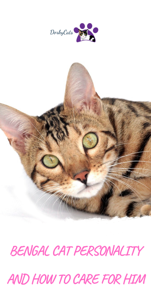 Bengal cat's personality