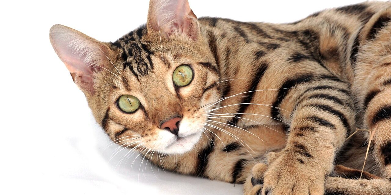 BENGAL CAT'S PERSONALITY AND HOW TO CARE FOR THEM